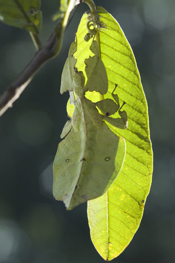 Leaf Insect on Guava Leaf