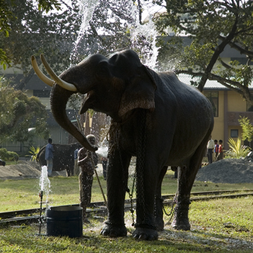 Pera Hera Tusker Taking a Bath in Viramahadevi Park, Colombo