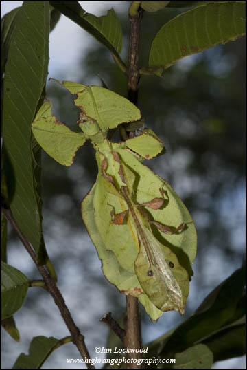 Male on female leaf insect (Phyllium bioculatum)