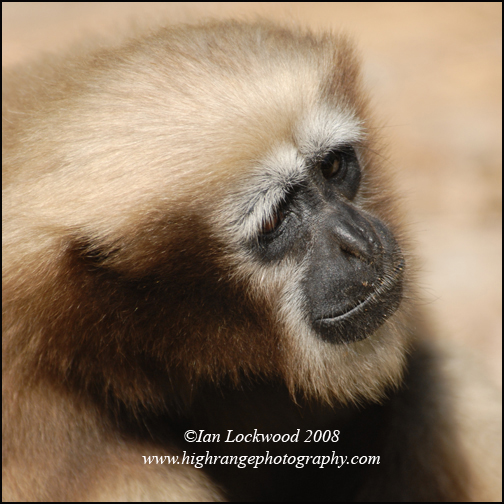 Adult female Hoolock gibbon (Bunopithecus hoolock) at the Aizawl Zoological Park