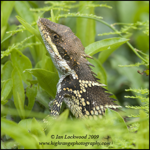 Mountain lizard in the upper Palni Hills (scientific name to be posted shortly)