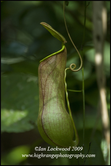 Pitcher plant (Nepenthes distillatoria) in Sinharaja.