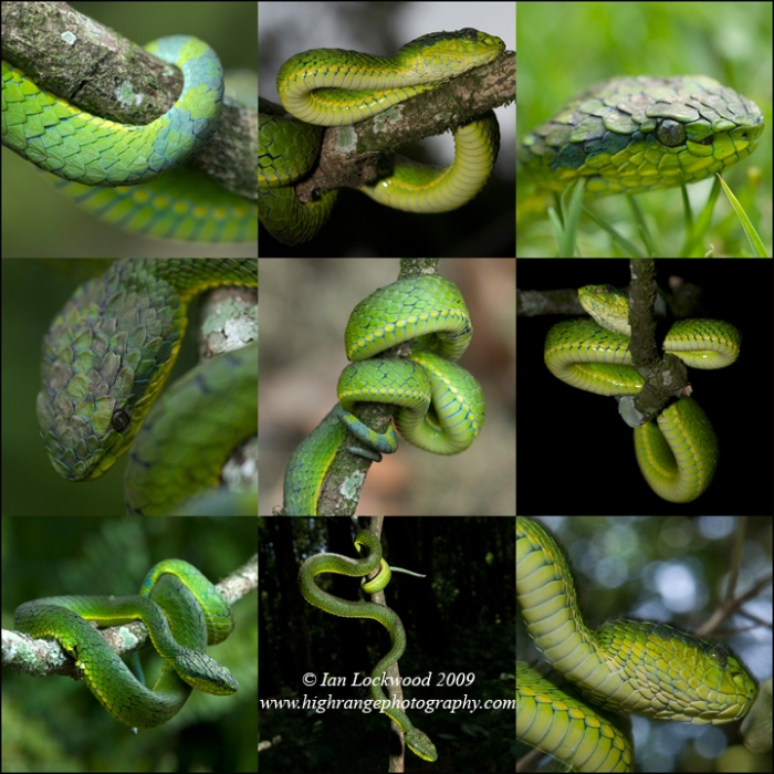 Large Scaled Pit Viper (Trimeresurus macrolepis), collage, Palni Hills