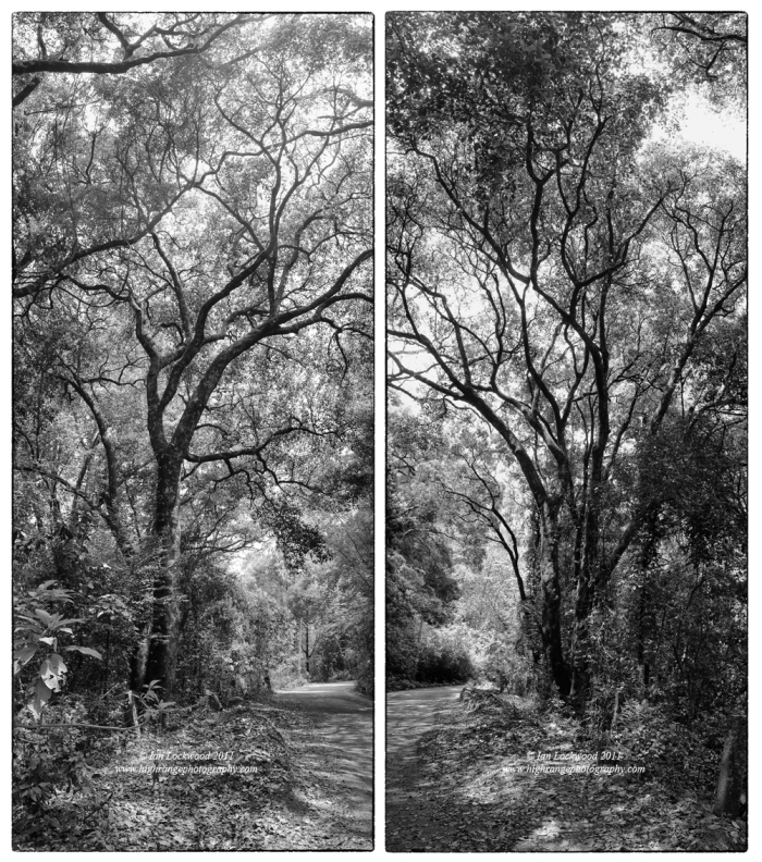 East and West views of a marvelous tree on Lower Shola Road near Wedgewood