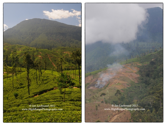 The dominant land use in the Central Highlands is large scale tea plantation agriculture. Surprisingly there are still some areas being cleared for new plantations. The image on the right shows new tea gardens being established on degraded lands (presumably a former abandoned estate). However the close proximity of the sub-montane forest is notable.