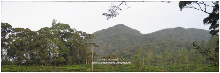 A contrast in habitats. A monoculture landscape of tea and non-native shade trees overshadowed by undisturbed sub-montane tropical rainforest in the Peak WIlderness area.