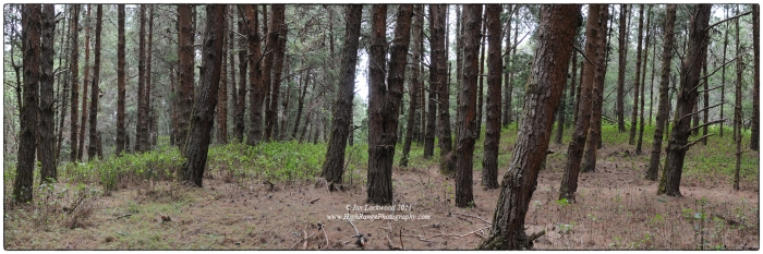 Pine plantation in the Palani Hills near to Poondi.