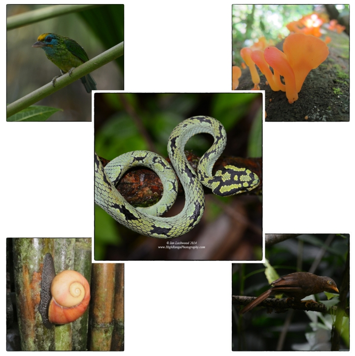 Selected biodiversity from a short trip to Sinharaja: Clockwise from upper left: Yellow Fronted Barbet, Fungi in secondary forest, Orange Billed Babbler, large Land snail, SL Green Pit Viper.