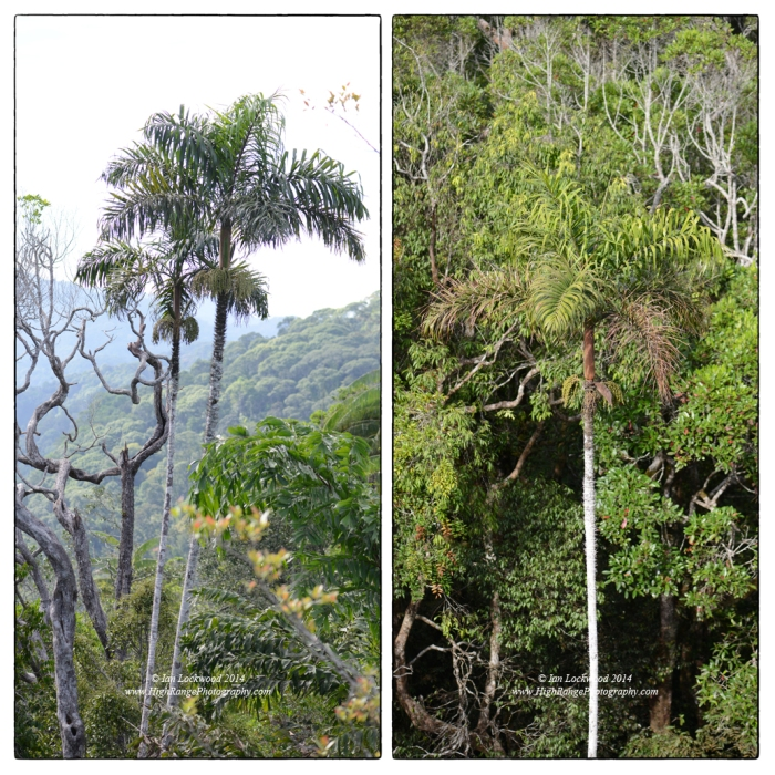 Cane () species, a favorite fro elephants, on the steep slopes of Moulawella peak.