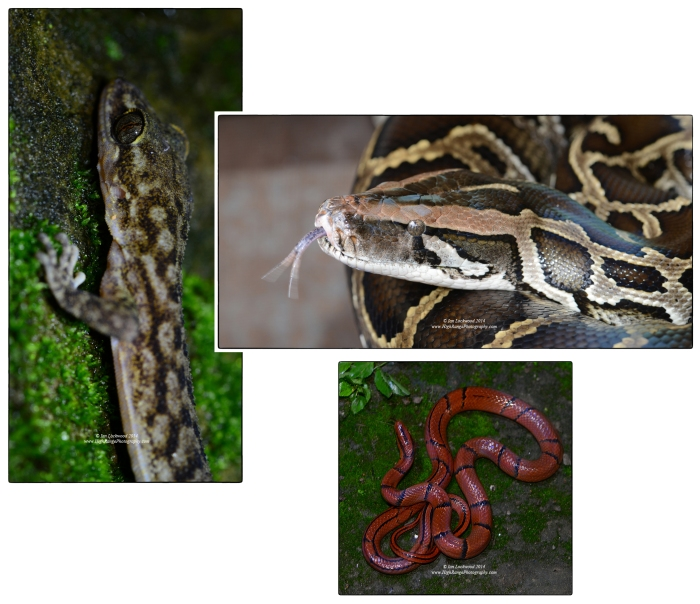 Unidentified Bent-Toe Gecko (Cyrtodactylus sp.), Burmese python (Python molurus bivittatus) and Banded Trinket Snake (Oreocryptophis porphraceus) at various locations in and around Aizawl.
