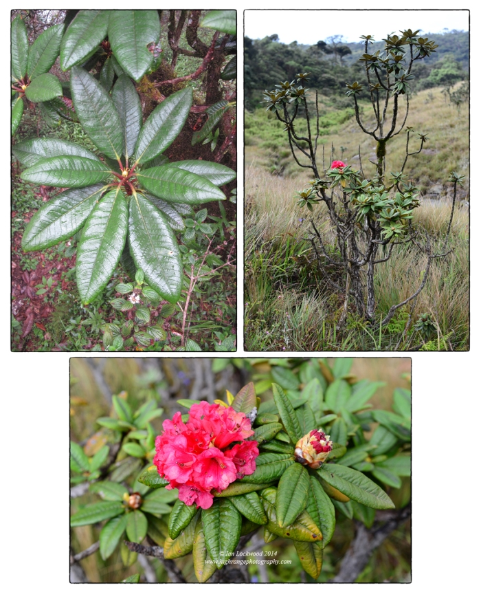 Rhododendron arboreum is a unique species with link tot he Western Ghats and distant Himalaya.