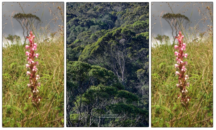 Ground orchid () in grasslands in collage with montane forest canopy view.