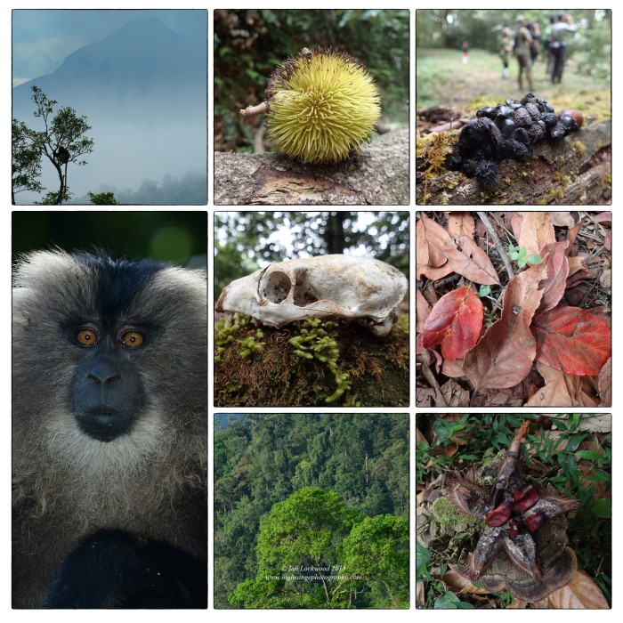 Snapshots from several walks int he Anamalais. From upper left: Nilgiri Langur, CUllenia, Civit droppings, Eleocarpus leaves on forest floor, CUllenia opened, canopy of rainforest, skull of a civet or mongoose, Lion tailed macaque.