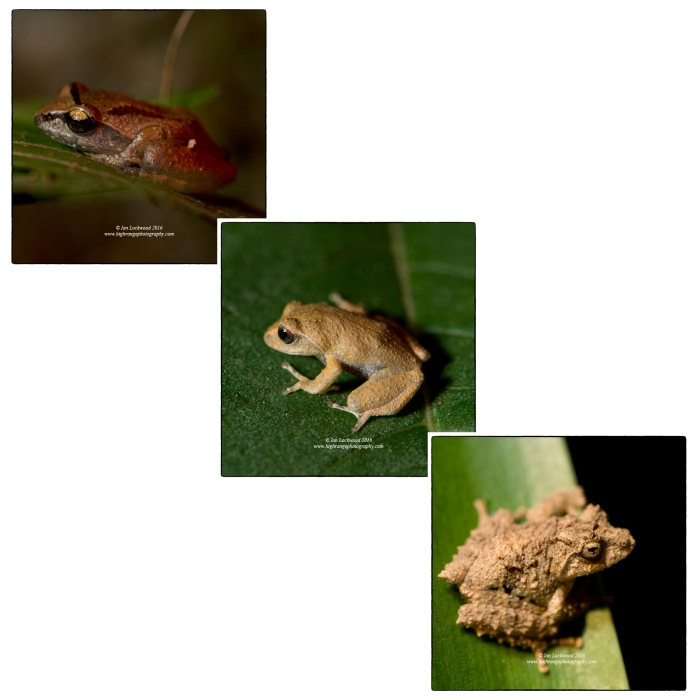 Several different shrub frogs including Pseudophillauts sp. and others (to be updated shortly) from the Nuwara Eliya nocturnal frog walk.