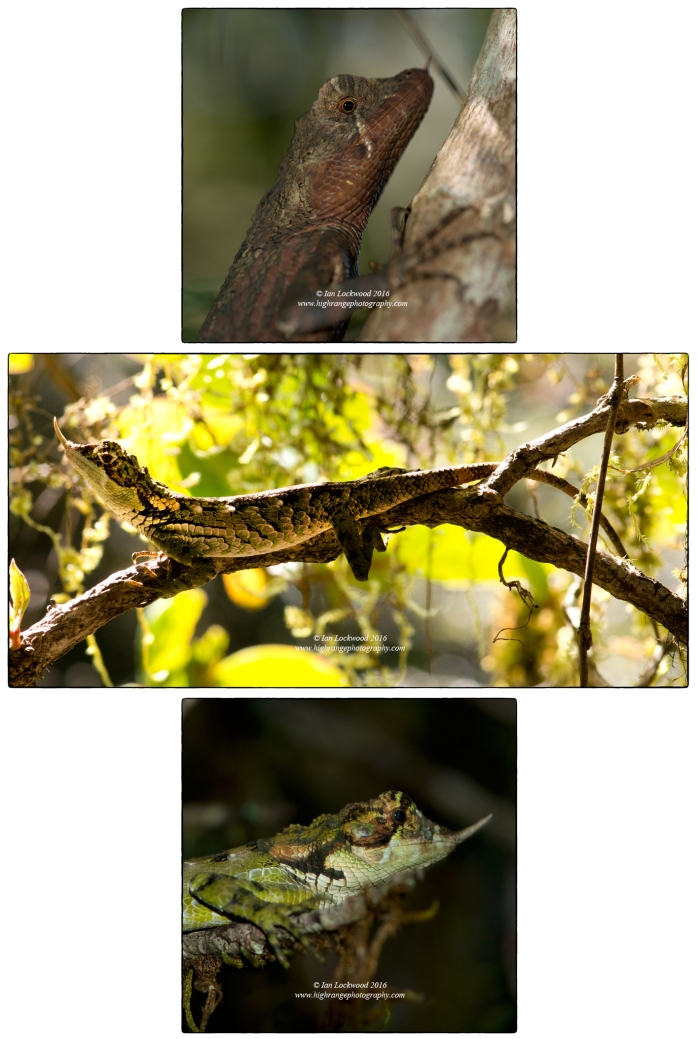 The Rhino Horned Lizard (Ceratophora stoddartii), an edemic cloud forest species from Sri Lanka's Central Highlands. This female (top image) and male (middle and lower image) were photographed in Horton Plains National Park where their populations are stable though not always easily seen.