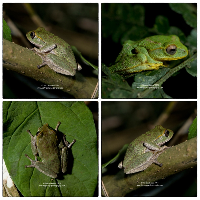 A study of Pseudophillauts femoralis, a rare endemic shrub frog from Sri Lanka's cloud forest. All females except the bright green male in the upper right. Identification courtesy of Ishanda Senevirathna of St. Andrew's. Kamilla found the male that is photographed here and the MYP5 students helped with holding lights.
