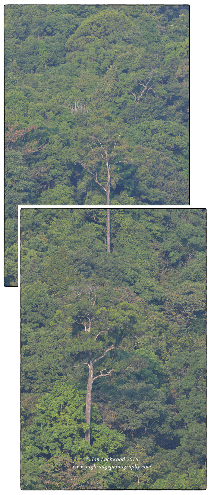 Canopy of the rainforest in Silent Valley National park -a composite exploration.