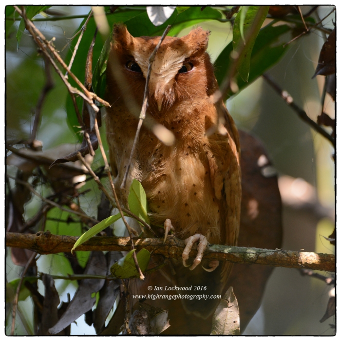 The rare Serendib Scops Owl (Otus thilohoffmanni) photographed at a day-time roost in Sinharaja captured in in a beam of afternoon light with the able guidance of Thandula. The species was only identified 12 years ago by Sri Lankan ornithologist Deepal Warakagoda.