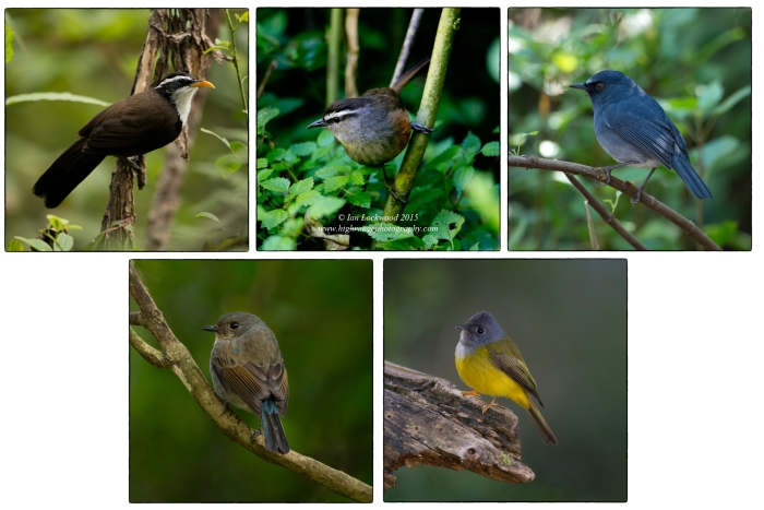 Shola bird species diversity in Kodaikanal's Bombay Shola. Clockwise from upper left: Scimitar Babbler (Pomatorhinus horsfieldii), Grey Breasted Laughing Thrush re-named as the Kerala Laughing Thrush (Strophocincla fairbanki), White Bellied Shortwing now known as the White Bellied Blue Robin (Myiomela albiventris), Grey-Headed Canary Flycatcher (Culicicapa ceylonensis) and Nilgiri Flycatcher (Eumyias albicaudatus) female.