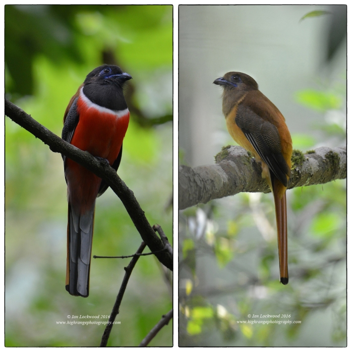 Malabar trogon (Harpactes fasciatus) male and female photographed in Sairandhri zone of Silent Valley National Park. This is one of the most beautiful birds from the Western Ghats & Sri Lanka hotspot and is found in many parts of the Ghats as well as in most evergreen forests (both wet and dry) in Sri Lanka. It is quite shy but can be photographed with patience. In Sinharaja rainforest Malabar trogons are often found in the mixed-species feeding flocks that are a key feature. Some of my best sightings are from Sinharaja trails and it was thrilling to have the long encounter in SVNP with Aneesh CR that produced these images.