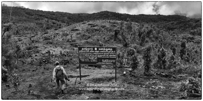 Inspecting a plot of cleared plantation on the road to Berijam Lake. The idea was to restore grasslands by clearing plantation. This has proven very difficult, if not impossible to achieve despite the best intentions. Cleared plantation areas soon become infested with weeds and wattle seedlings. In this image, pioneer Daphniphyllum neilgherrense trees are visible amongst the debris of the cleared wattle plantation. These pioneer shola species came up amongst the wattle that had been planted on grasslands. Thus, what emerges in plots that are located close to mother sholas is a hybrid plantation-shola mix in what was once montane grasslands. Examples like this illustrate the challenge and complexity of shola/grassland restoration in the southern Western Ghats.
