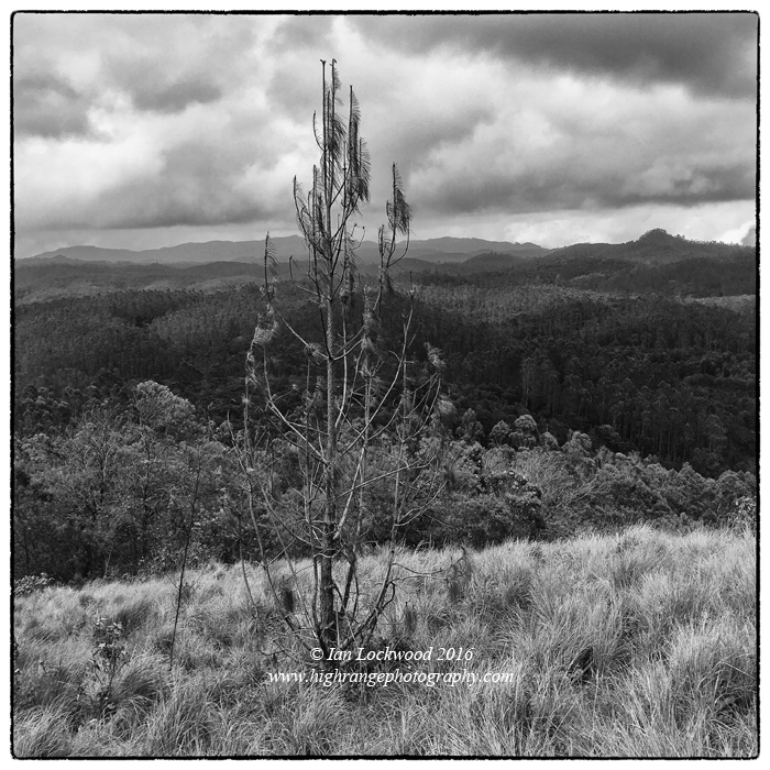 Remnants of a pine tree that had invaded a patch of remote grasslands and then been ring-barked in 2013 as a part of an effort to protect the last vestiges of native montane grasslands in the remote Palani Hills. In the background the undulating hills leading back to Berijam and Kodaikanal have been thickly forested with non-native plantation species.