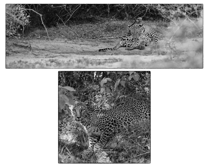Charismatics actors on the Wilpattu stage: Sri Lankan leopards photographed on the same day in July 2016.