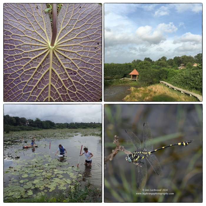 Wetland snapshots. (Clockwise from upper left) Lily underside being used in a reflectance/absorbance experiment, Bedaganna walkway, club tail (Ictinogomphus rapax) at Talangama, OSC Class of 2016 students doing a line transect of water plants as part of the Group IV project.