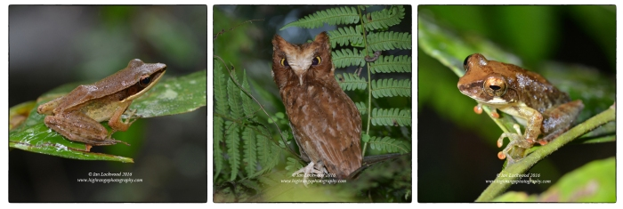 As usual, Sinharaja offered many superb sightings of endemic rainforest creatures: Serendib Scops Owl (Otus thilohoffmanni) in the Sinharaja core zone, flanked by two different frogs photographed near Martin's Lodge.