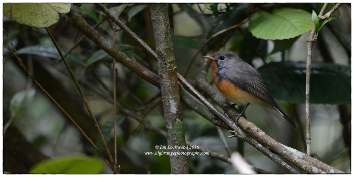 Male Kashmir FLycatcher (Ficedula subrubra) a rare winter visitor to Sri Lanka's Central Highlands photographed in montane forest at 1,400 meters.
