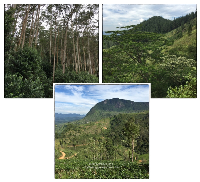 Human impact in the Central Highlands (Eucalyptus plantation, pine plantation and cleared tea fields, tea estate and slopes above Maskeliya).