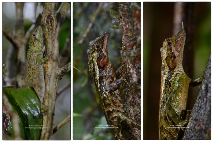 Endemic cloud forest lizaed species from Sri Lanka's Central Highlands. Left (& possibly center): the Pygmy lizard (Cophotis ceylanica). Right: the Rhino Horned Lizard (Ceratophora stoddartii).