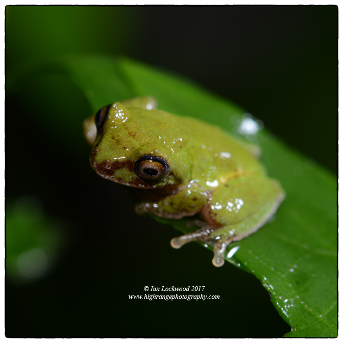 Pseudophillauts femoralis, a rare endemic shrub frog from Sri Lanka's cloud forest. Identification courtesy of Ishanda Senevirathna of St. Andrew's.
