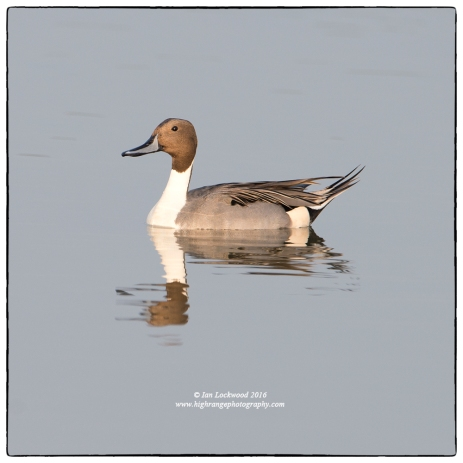 Northern Pintail (Anas acuta) at Vankalai-Mannar causeway