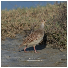 Grey Francolin (Francolinus pondicerianus) at Vankalai. These birds are quite common and I heard them in the bustle of Mannar town at dusk!