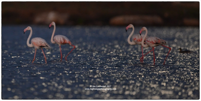 Greater flamingos in moonlight at Vankalai Bird Sanctuary.