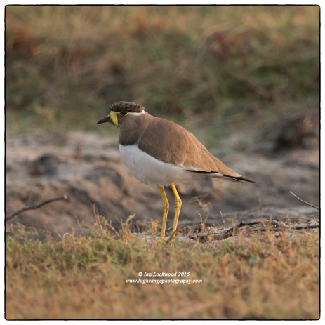 Yellow Wattled Lapwing (Vanellus malabaricus) north of Vankalai