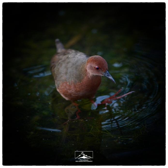 Ruddy-breasted Crake (Porzana fusca) in early light.