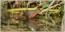Ruddy-breasted Crake (Porzana fusca)