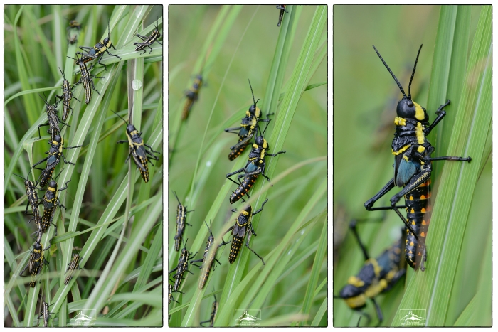 Grasshopper_love_fest_Mosaic