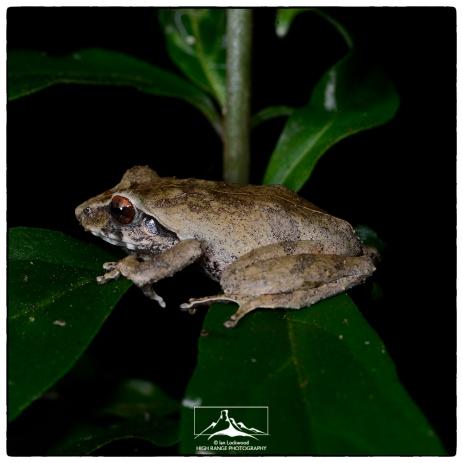 Pseudophilautus alto at St. Andrews/Pidurutalagala.