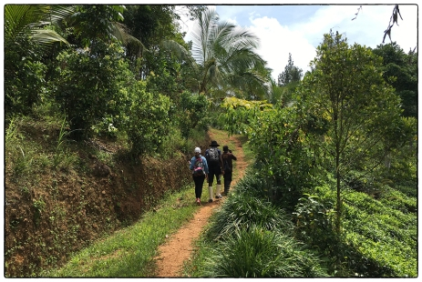 OSC students walking through tea and cinnamon fields in a home garden.(May 2017).