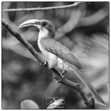 Sri Lanka grey hornbill (Ocyceros gingalensis) at Martin's (while we were eating breakfast).