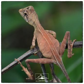 Sri Lanka Kangaroo Lizard (Otocryptis wiegmanni) female