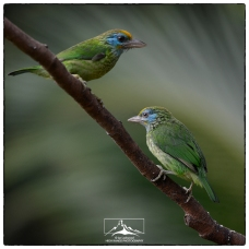 Yellow-fronted barbets (Psilopogon flavifrons) adult and juvenille