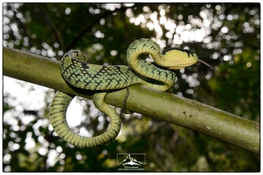 Green Pit Viper (Trimeresurus trigonocephalus) showing its tongue.