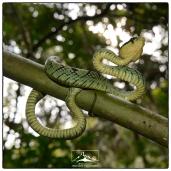 Green Pit Viper (Trimeresurus trigonocephalus) from under.
