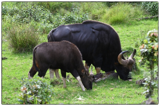 Gaur (Bos gaurus) grazing near at Pampadum Shola National park. Note the ticks infesting the calf in front of the large male.
