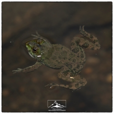 Euphlyctis .cf.cyanophlyctis at stream at the Pitawala Pantana on the Riverston Road. This is NOT the very rare Kirthisinghe's Rock Frog. (November 2018)