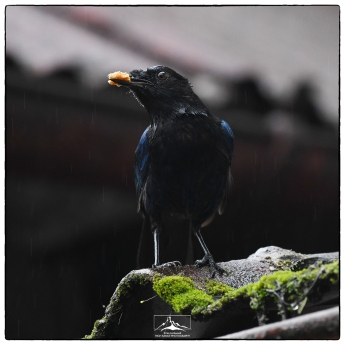 Wildlife in the shadows: Malabar Whistling thrush (Myophonus horsfieldii) resident at the High Range Club.